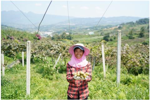 △在贵州乌蒙山腹地,凉都六盘水的红心猕猴桃品质上佳,形成了大规模种植。高原山地特色的新农业,正在带动当地农民致富。