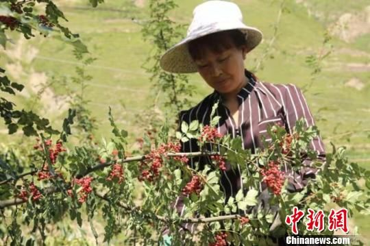 """甘肃文县深挖特色资源 农民""""靠产业吃饭""""多径增收"""