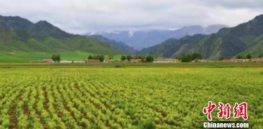 图为甘肃民乐县中药材种植基地。(资料图) 王鹏 摄