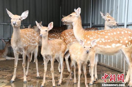 图为饲养的梅花鹿。 闫姣 摄