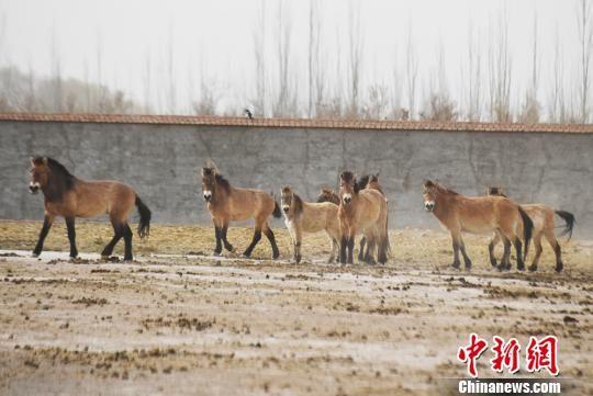 甘肃武威市甘肃濒危动物保护中心的普氏野马。(资料图) 杨艳敏 摄