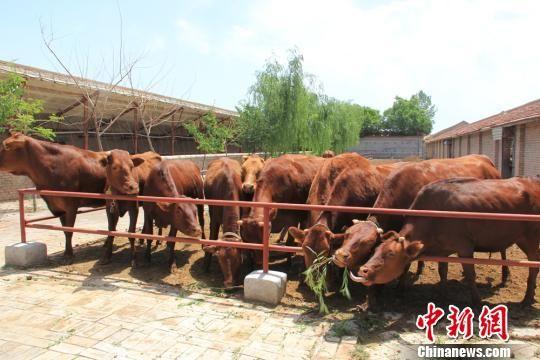 图为平凉红牛。 梁璐 摄