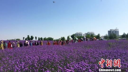 图为金昌市引进薰衣草、马鞭草等多个香草花卉品种发展花卉产业。(资料图) 刘玉桃 摄