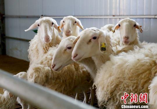 环县中盛羊业发展有限公司养殖基地里健康生长的湖羊。 (资料图) 高展 摄