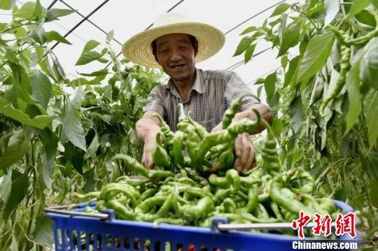 天水是甘肃人口大市,也是扶贫大市,是全省脱贫攻坚的主战场。图为当地农民依靠种植增收。(资料图) 钟欣 摄
