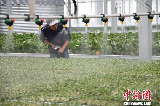 图为兰州新区农投集团现代农业示范园智能温室。(资料图) 丁凯 摄