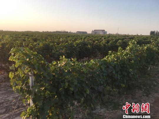 图为武威市莫高庄园葡萄种植基地,昔日的边塞名城到处郁郁葱葱,葡萄园芳香四溢。 张婧 摄