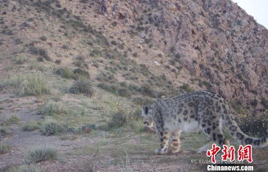 图为采集到的雪豹影像。 王亮 供图