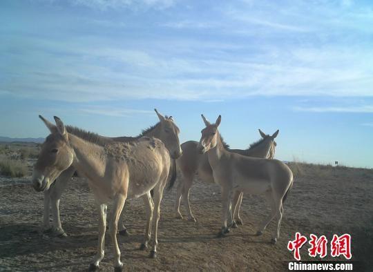 图为红外相机采集到的蒙古野驴影像资料。 王亮 供图
