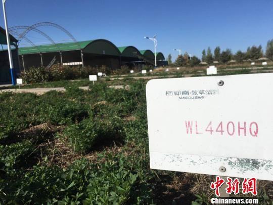 图为金昌市优质牧草试验田。 张婧 摄