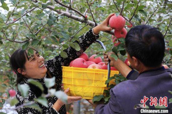 图为甘肃灵台当地果农采摘苹果。 景广学 摄