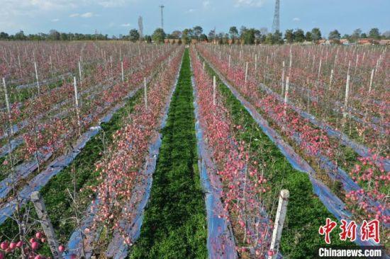 图为灵台县矮化密植示范果园。 杨昕 摄