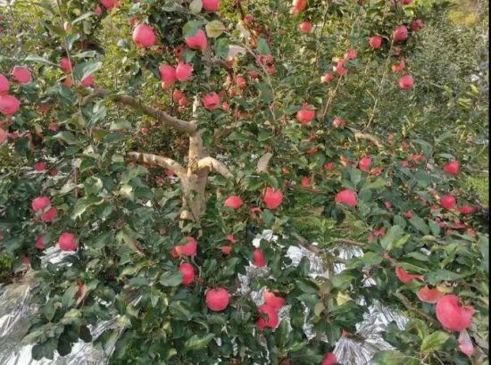 杨东福家的果园硕果累累。