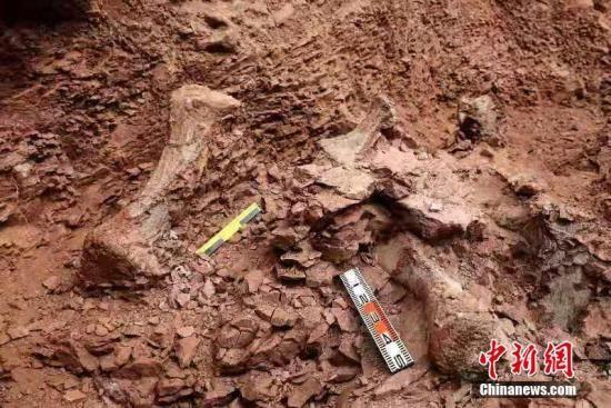 11月5日,据甘肃省临夏回族自治州永靖县官方披露,在该县关山乡红楼村发现了巨龙形类蜥脚类和新鸟臀类恐龙化石。这是继在永靖县境内发现的恐龙足印群化石、刘家峡黄河巨龙、炳灵大夏巨龙、大唐永靖龙化石后的又一重大发现。侯奇志 摄