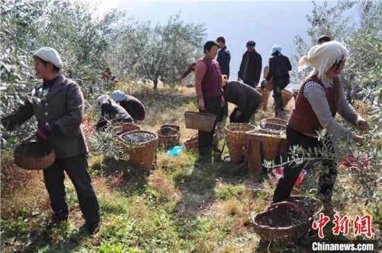 图为甘肃武都农民挎篮背篓在山地采摘。 钟欣 摄