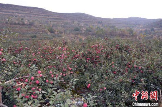 近年来,定西市通渭县扩大苹果销售渠道,果农们尝到甜头之后扩大种植面积,就连山沟梁峁都变成了苹果园。 赵世军 摄