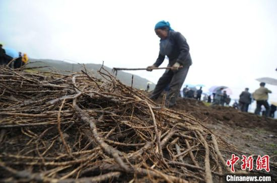 图为农民采挖中药材。(资料图) 闫姣 摄