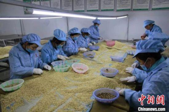 图为当地留守妇女在加工厂上班,负责分拣松子。 剡文斌 摄
