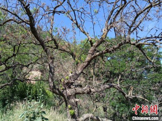 目前,扈瑞祥以栽种树木330多亩8万余株。(资料图) 张宁宁 摄