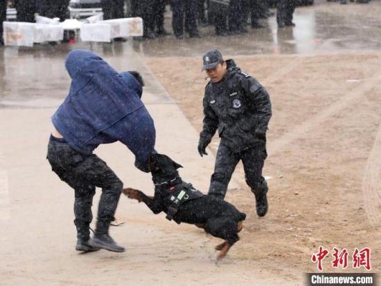 图为刑警支队进行警犬技术实战演练。 崔琳 摄