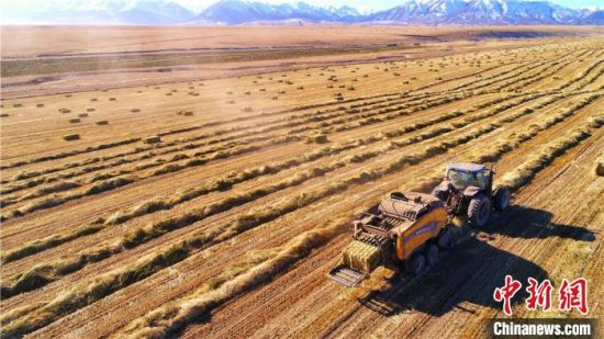 12月12日,甘�C山丹�R�龅�21�f��燕��草�N植基地�龋�遍地金�S,展�F出一幅�S收的美景。 王超 �z