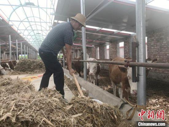甘肃临夏州广河县三甲集镇上集村村民马建云在牛羊养殖农民合作社从事养护母牛工作,每月可获4000多元工资。图为马建云给母牛添加饲料。(资料图) 艾庆龙 摄