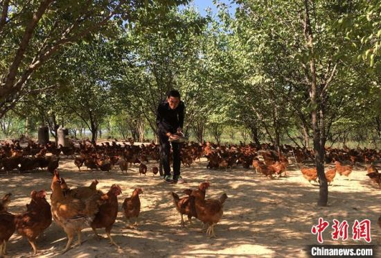 庆阳合心种养殖农民专业合作社养鸡场。 盘小美 摄
