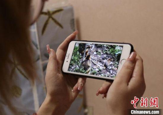 """图为民众通过""""陇南金丝猴""""小程序居家观赏深山里的金丝猴。 闫姣 摄"""