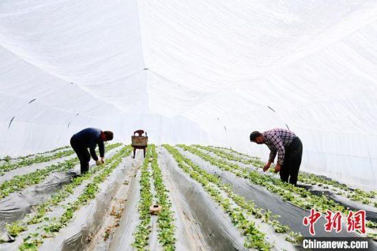 图为陇南徽县农民在草莓大棚内劳作。 高琼 摄