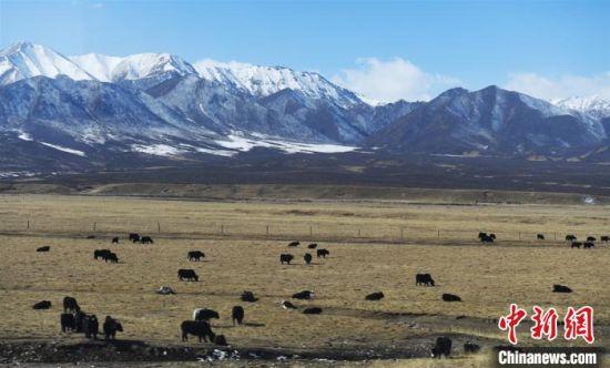 图为祁连山下的山丹军马场,牦牛、马匹和祁连山的雪色相互映衬出别样美景。(资料图) 杨艳敏 摄