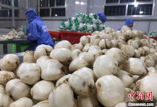 图为临洮县百合生产加工厂。 张婧 摄