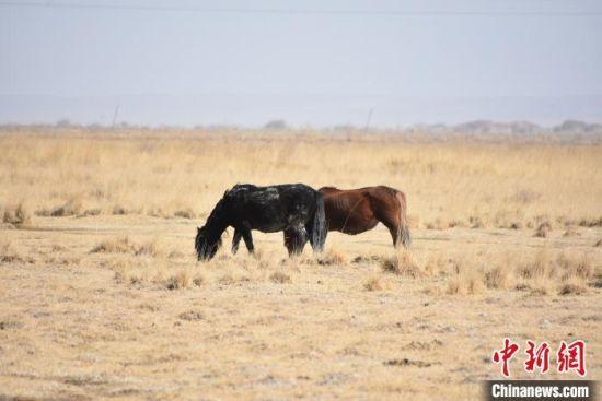 马觅食。 魏金龙 摄
