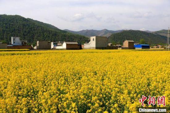 图为金色油菜花田与远山、乡村农家交相映衬。 马万安 摄