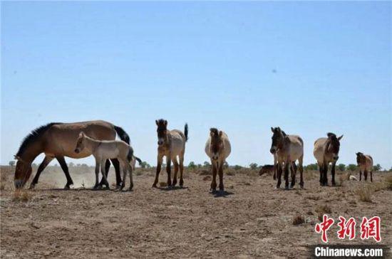 工作人员分别监测到5个繁殖群和4个全雄群共约60匹普氏野马,其中一个繁殖群新增1公1母2匹幼马,还有部分母马待产。敦煌西湖国家级自然保护区管理局供图