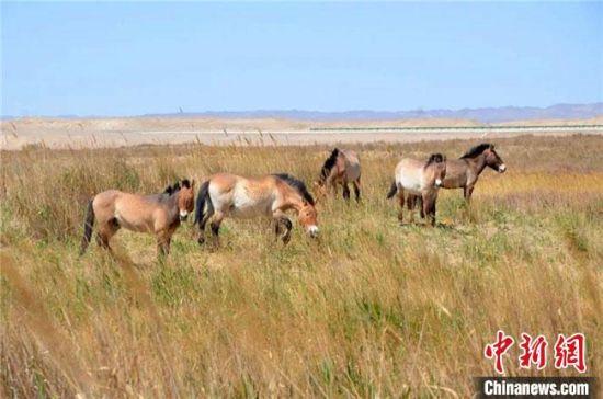 图为悠闲觅食的普氏野马种群。敦煌西湖国家级自然保护区管理局供图