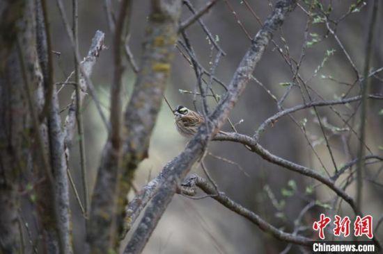 经查阅相关资料,确认其为雀形目�c科的黄眉�c雄鸟。 兰州大学供图