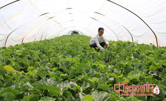 武川村瓜农采摘甜瓜。