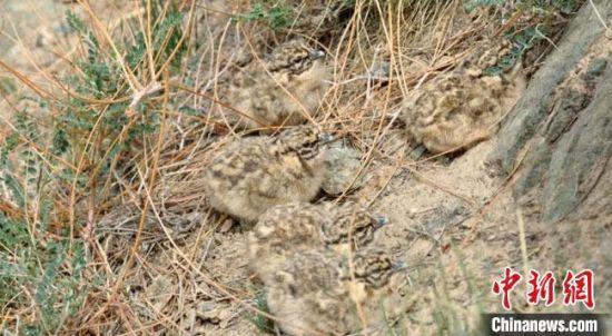 图为刚孵化出壳的小雪鸡呆萌可爱。 哈登其木格 摄