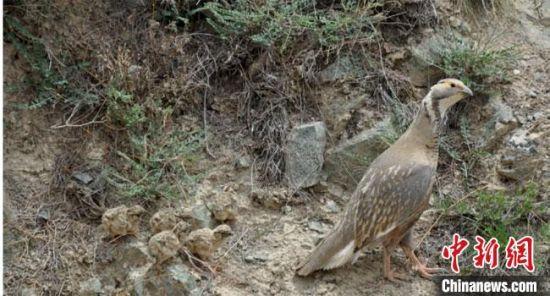 图为产卵后的暗腹雪鸡和刚孵化出壳小雪鸡。 达布希力特 摄