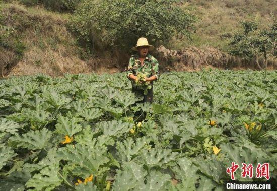 图为金沟乡小金沟村村民张金东正在地里忙活,今年他凭借信用贷款4万元,扩大了蔬菜种植规模。 杜萍 摄
