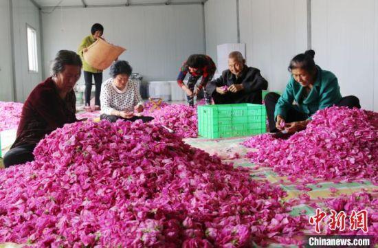 孔塬村村民分拣玫瑰花。 盘小美 摄