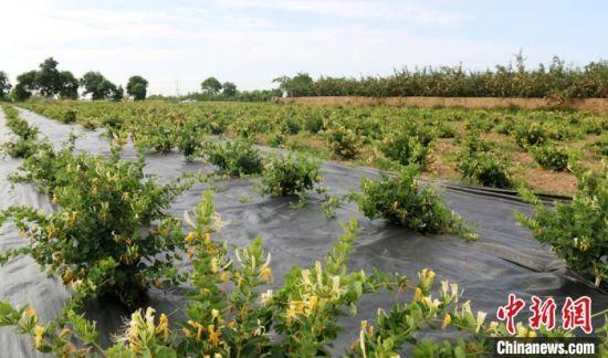 西峰区后官寨镇帅堡村新望养殖农民专业合作社金银花种植基地。 盘小美 摄