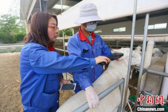 6月中下旬,武威普康养殖有限公司技术部经理王文娟正手持一体化终端扫描仪获取养只信息。 高展 摄