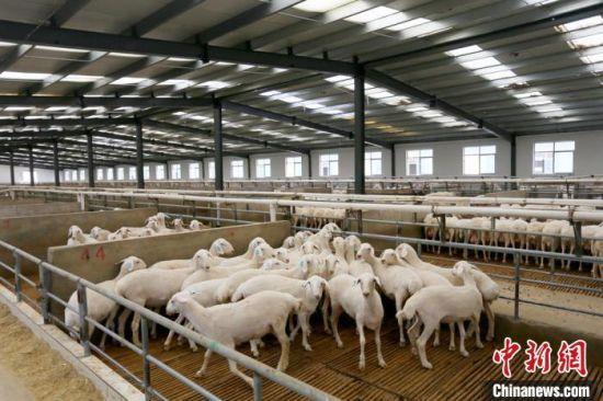 普康现代农业养殖基地采用自动清粪、自动消毒、自动撒料、自动饮水生产设备。 高展 摄