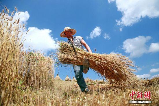 7月上旬,在甘肃省平凉市崆峒区多地小麦种植区,连片的小麦迎来收割季。