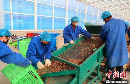 图为在镇原县中药材产业加工基地里,当地农民实现家门口打工。 张昶昶 摄