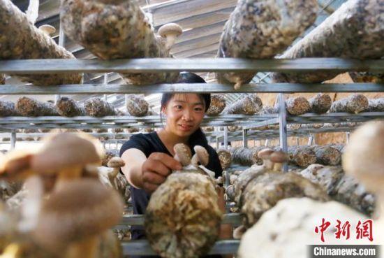 甘肃武威市天祝藏族自治县松山镇德吉新村村民王世芳在自家大棚管理出菇。 高展 摄