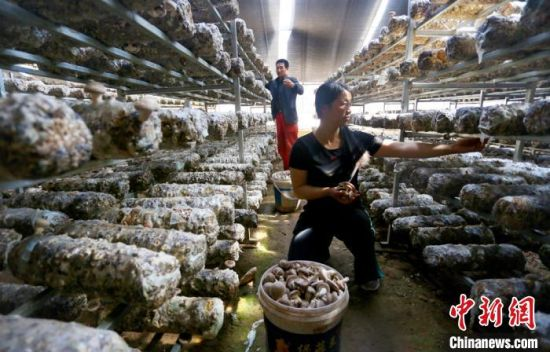 """""""香菇夫妻""""王世芳和丈夫万银成正采摘香菇。 高展 摄"""