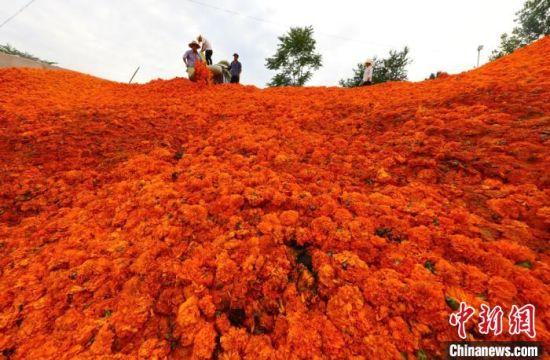"""7月初,地处甘肃陇南市成县的2万亩万寿菊绽放,农民采摘的万寿菊""""堆积如山""""。 刘敏 摄"""