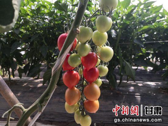 台湾番茄品种落户西北黄土地 兰州六旬老农试种冀推广